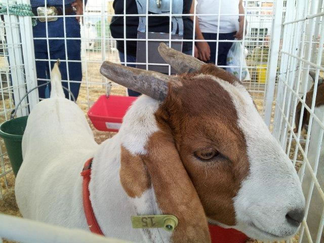 A goat with a 15 tag in its ear.