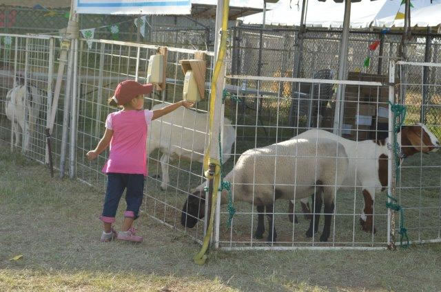 Little girl feeds the goats.