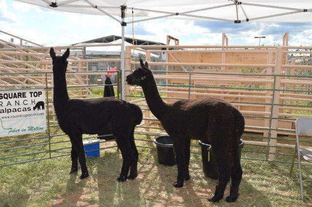 Two alpacas pose for a picture.