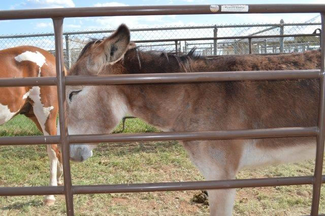 A donkey stands behind the bars.